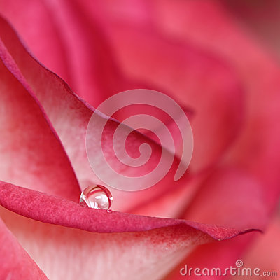 Water drop on rose