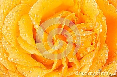 Water drop on rose