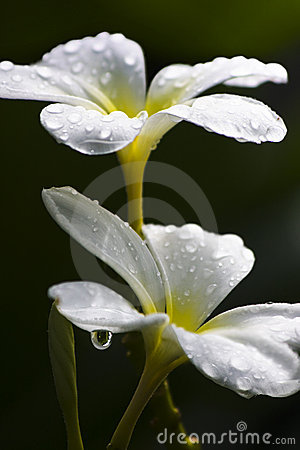 Water Droplet On Frangipani Flower