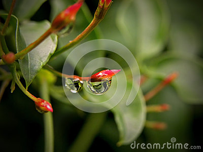 Water droplet on Jasmine