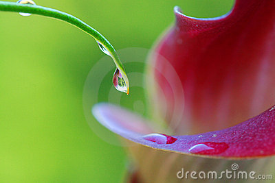 Water droplets on calla