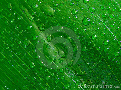 Water droplets on green leaf,