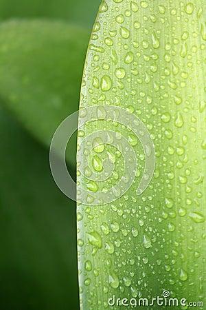 Water Droplets on Leaf 1
