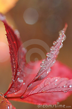 Free Water Droplets On Red Leaves Stock Image - 13683121