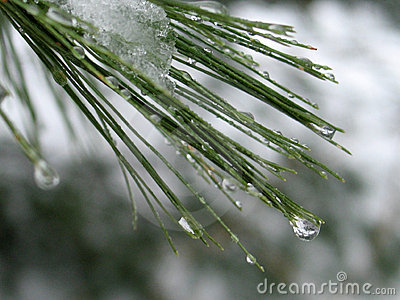 Water droplets on Pine Needles: