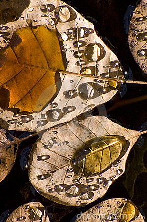 Water drops on Autumn leaves
