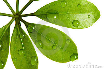 Water drops on fresh green leaf