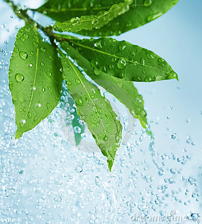 Water drops and Fresh Green Leaves
