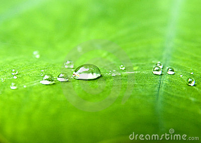 Water drops  in green leaf