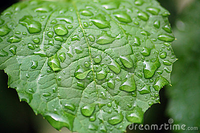 Water drops on jasmin leaf