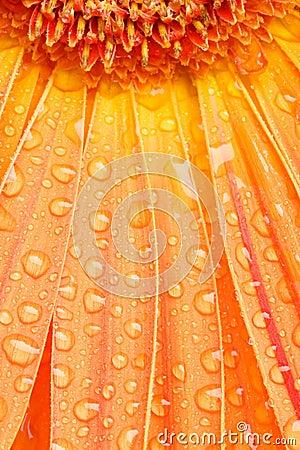 Free Water Drops On Orange Daisy Stock Photography - 1907222