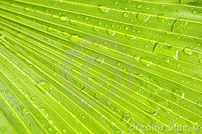Water drops on palm leaves