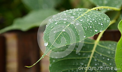 Water Drops on Phycus Leaf