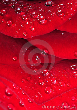 Water drops on the red rose petal