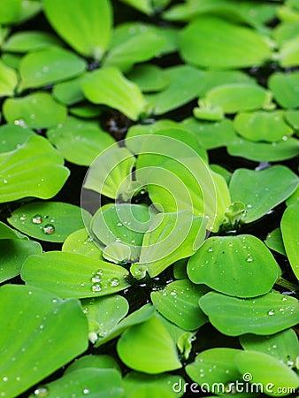 Free Water Fern, Mosquito Fern Stock Image - 49648601