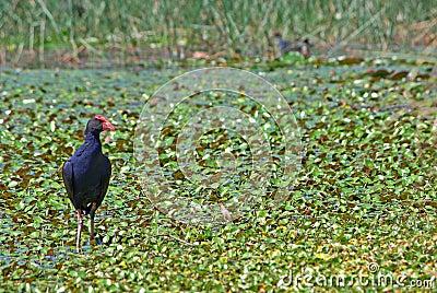 Water hen in wetlands