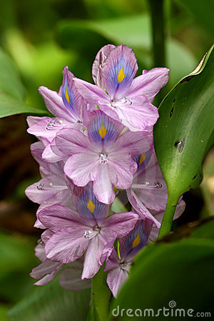 Free Water Hyacinth Stock Images - 674994