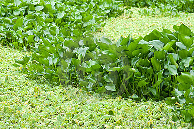 Water hyacinth in the swamp
