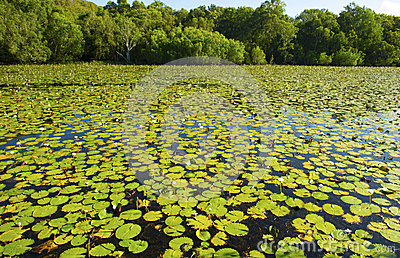 Water lillies cover Keating lagoon, cooktown, queensland, austra