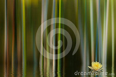 Water Lilly Abstract