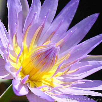 Free Water Lily Royalty Free Stock Image - 15432376