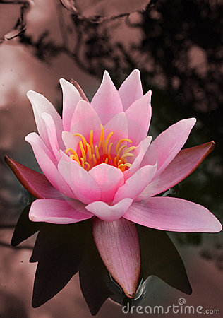 Free Water Lily Royalty Free Stock Photos - 1552318