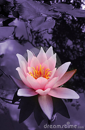Free Water Lily Stock Photography - 1552342