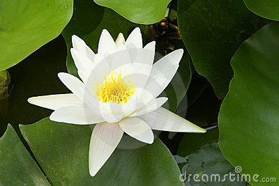Water Lily Stock Photos - Image: 20774533