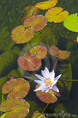 Free Water Lily Royalty Free Stock Photo - 5473875