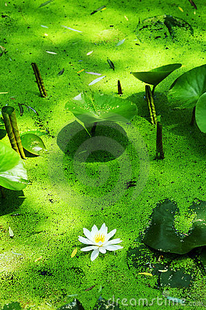 Free Water Lily And Duckweed Stock Photo - 5485360