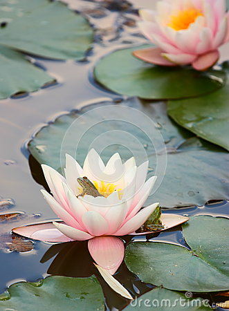 Free Water Lily And Frog Stock Photo - 26434260