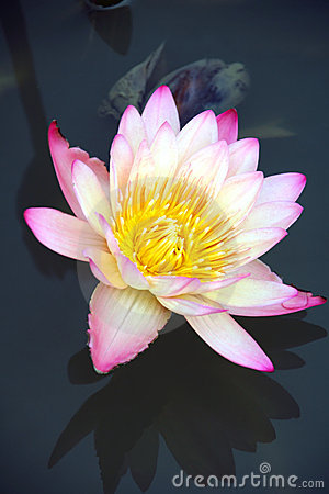 Free Water Lily And It S Reflection Stock Photo - 4162880