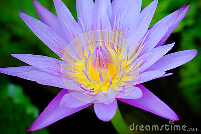 Water lily closeup with blurred background