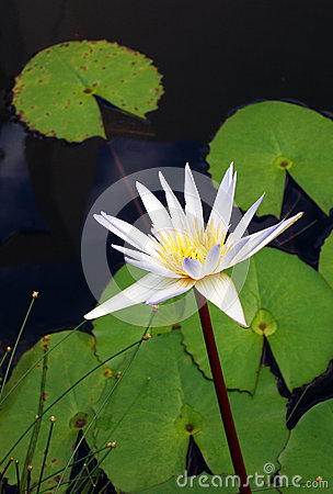 Water lily flower, white Nymphaea species