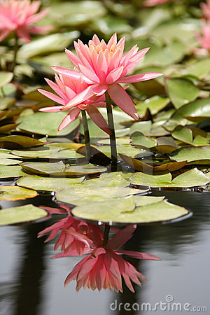 Free Water Lily In A Pond Royalty Free Stock Photos - 14011538