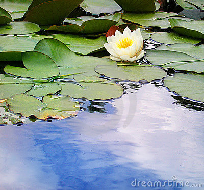 Free Water Lily In A Pond Royalty Free Stock Photo - 156505