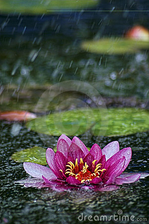 Free Water Lily In The Rain Stock Images - 990584