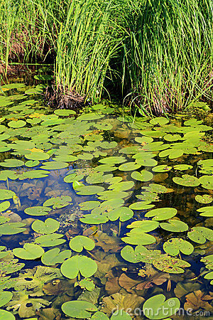 Free Water Lily In Wood Marsh Royalty Free Stock Image - 20115376