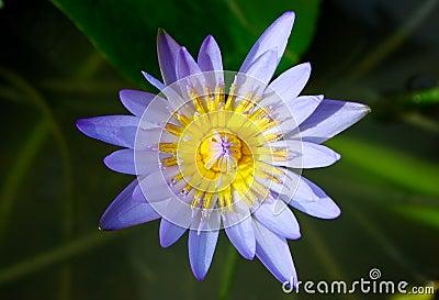 Water lily : lotus