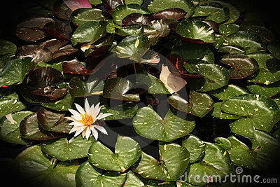 Water Lily Pad with Flowers on Pond