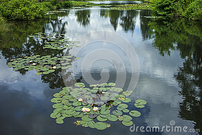 Water lily pads on lake