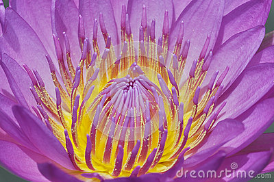 Water Lily  pollen
