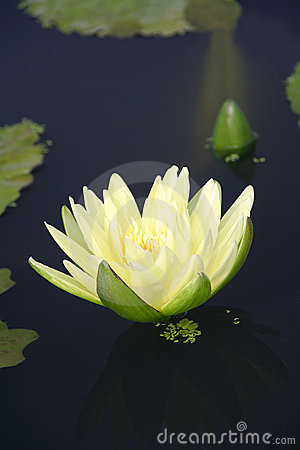 Water lily and it s reflection