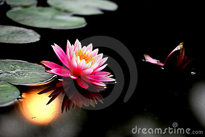 Water lily sunset