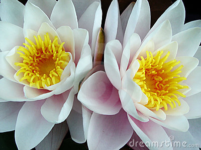 water lily twins