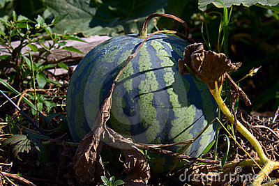 Water-melon striped on a melon field