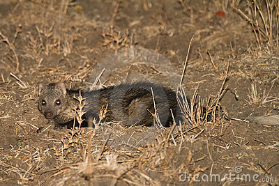 Water Mongoose