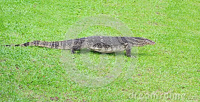 Water monitor lizard on the green grass backgroun