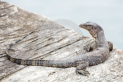 The Water monitor, (Varanus salvator)