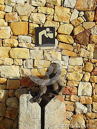 Water Monkey Stock Photo